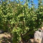 albicocco damaschino