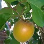 albicococco aurora (3)