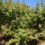 albicococco aurora - Copia